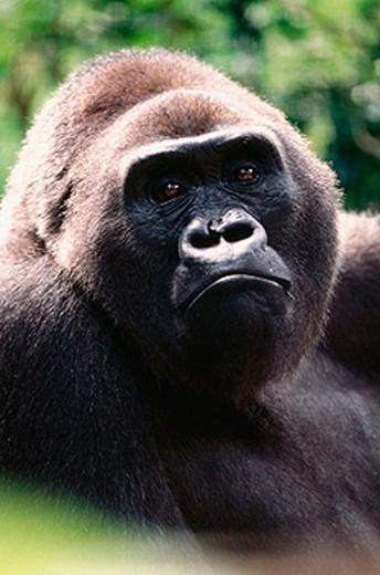 Stock Photo: 1566-0136038 Lowland Gorilla (Gorilla gorilla gorilla)