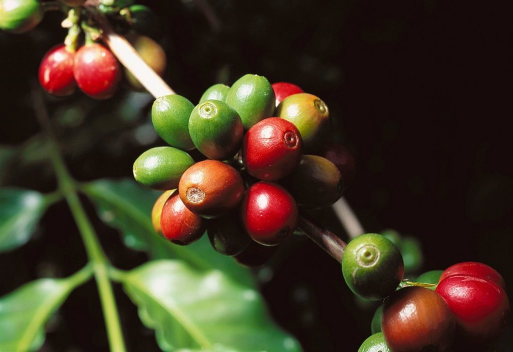 Stock Photo: 1566-0136594 Coffee beans. Veracruz state. Mexico