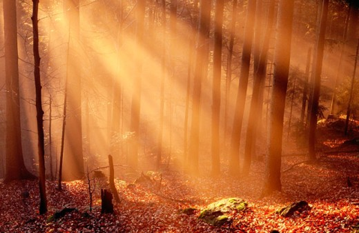 Stock Photo: 1566-0137980 Foggy Bavarian forest, late autumn. Beeches (Fagus sylvatica) and Spruces (Picea abies)