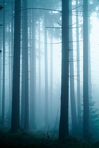 Stock Photo: 1566-0138361 Sun breaking through mist, spruce forest. Bavarian forest, Bavaria. Germany