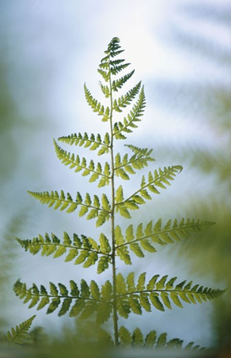 Stock Photo: 1566-0138397 Fern