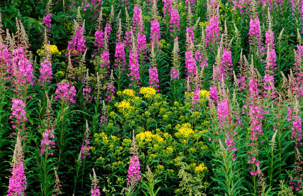 Stock Photo: 1566-0138452 Fireweed (Epilobium angustifolium) and Ragwort (Senecio jacobaea) in yellow