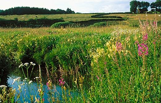 Fireweed (Epilobium angustifolium). Holzwarche Valley. Belgium : Stock Photo