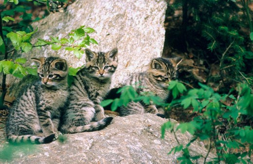 Young wildcats (Felis silvestris) in captivity. Bavarian Forest. Bavaria, Germany : Stock Photo