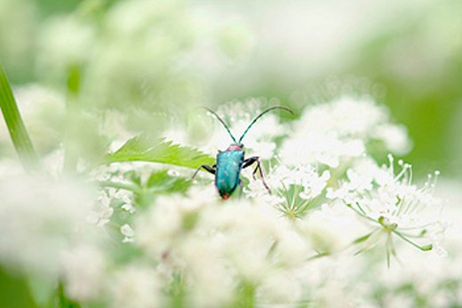 Beetle (family: Chrysomelidae). Bavarian Forest National Park. Bavaria. Germany : Stock Photo