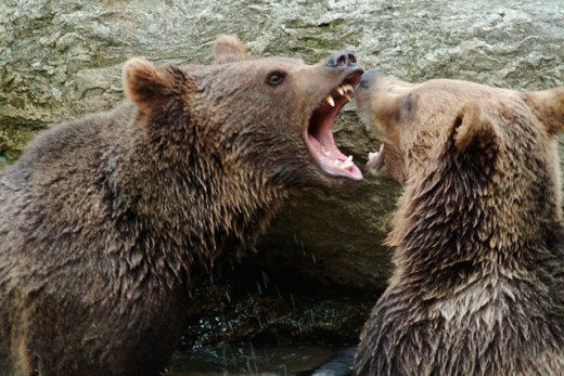 One and a half years old brown bears (Ursus arctos) having a play-fight. Captives. Bavarian Forest National Park. Bavaria. Germany : Stock Photo