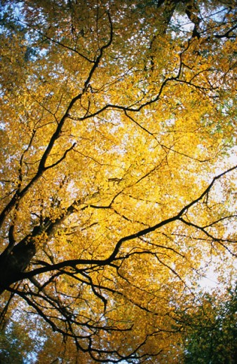 Stock Photo: 1566-0138856 Autumnal oak tree, Ardennes, Belgium