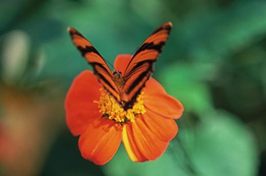 Banded Orange Heliconian (Dryadula phaetusa) on flower : Stock Photo