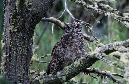 Great Horned Owl (Bubo virginianus). Torres del Paine National Park. Chile : Stock Photo