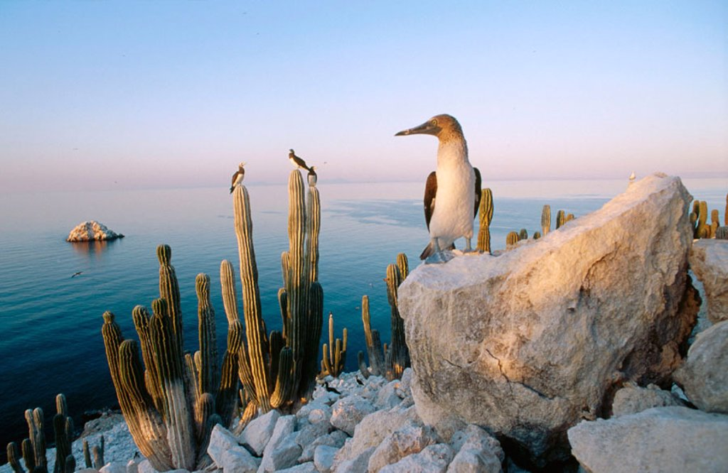 Blue-footed Booby (Sula nebouxii excisa) in San Pedro Martir Island. Gulf of California : Stock Photo