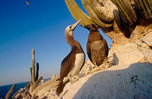 Stock Photo: 1566-0141557 Brown Booby with young (Sula leucogaster) San Pedro Martir Island. Gulf of California