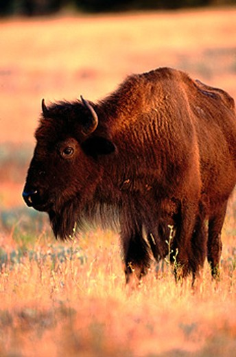 Bison (Bison bison). Wichita Mountains Natural Wildlife Refuge. Oklahoma. USA : Stock Photo