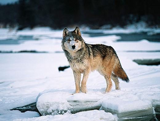 Stock Photo: 1566-0144660 Wolf (Canis lupus). Minnesota. USA