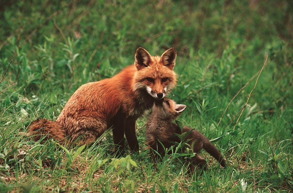 Red Fox (Vulpes vulpes) : Stock Photo