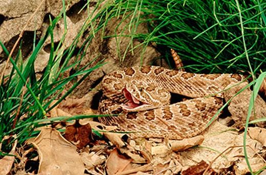 Stock Photo: 1566-0144700 Prairie Rattlesnake (Crotalus viridis viridis)