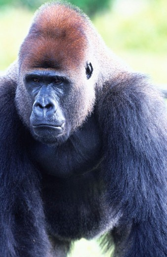 Stock Photo: 1566-0145219 Gorilla (Gorilla gorilla)