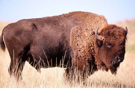 Stock Photo: 1566-0145304 American buffalo (Bison bison). Wind Cave National Park. South Dakota. USA