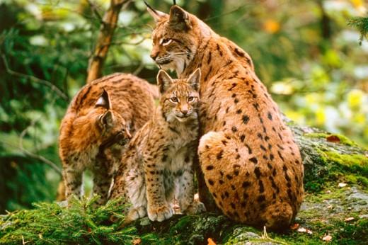 Lynxes (Felis lynx), mother and cubs : Stock Photo