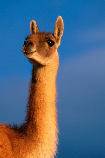 Stock Photo: 1566-0145593 Guanaco (Lama guanicoe). Torres del Paine National Park. Chile