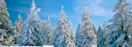 Spruce trees in winter. Ardennes. Belgium : Stock Photo