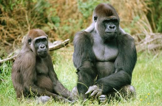 Gorilla (Gorilla gorilla) : Stock Photo