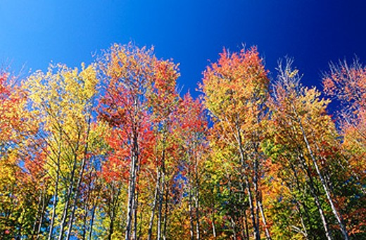 Stock Photo: 1566-0145793 Colorful Maple trees. Indian Summer. New Hampshire. USA