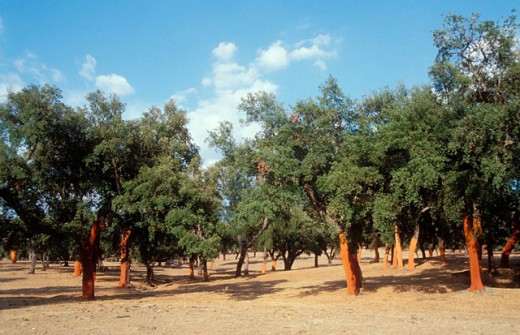Cork Oaks (Quercus suber) after uncorking : Stock Photo