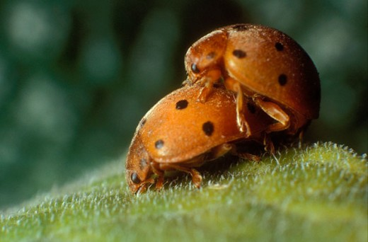 Stock Photo: 1566-0146984 Ladybird beetles (Epilachna crysomelina) mating