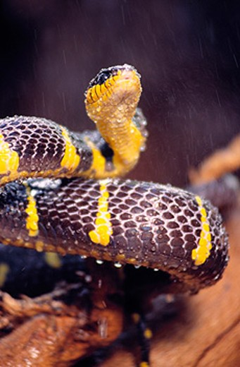Stock Photo: 1566-0147725 Mangrove Snake (Boiga dendrophila)