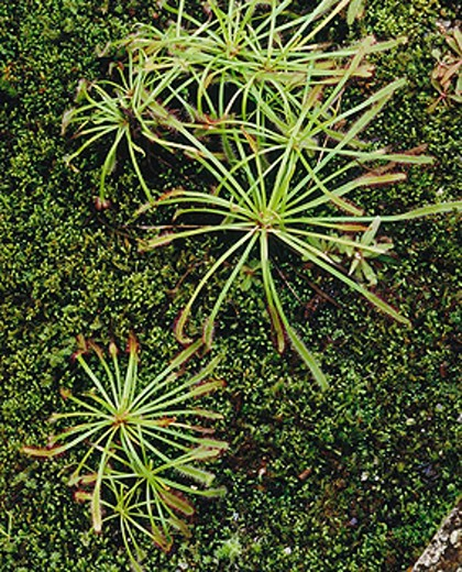 Sundew (Drosera binata). Australia : Stock Photo