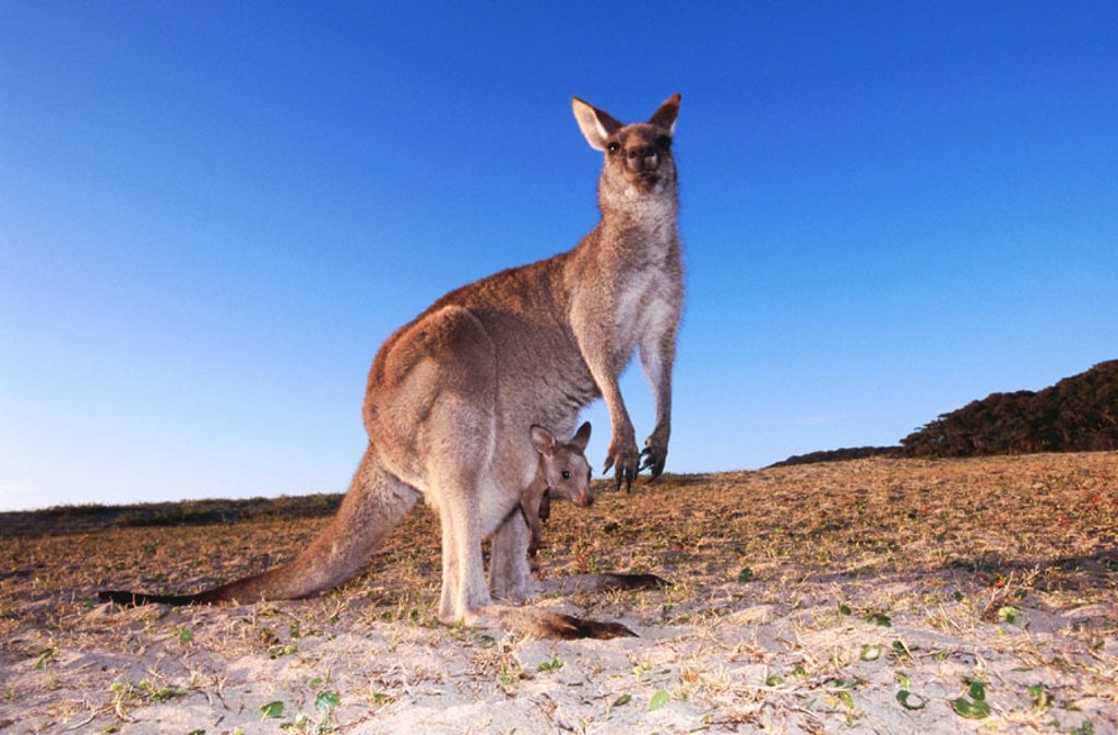 Grey Kangaroo (Macropus giganteus). Murramarang National Park. Australia : Stock Photo