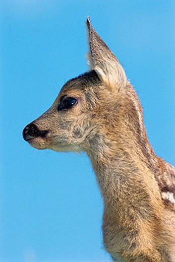 Stock Photo: 1566-0148813 Roe deer fawn (Capreolus capreolus). Bavaria. Germany