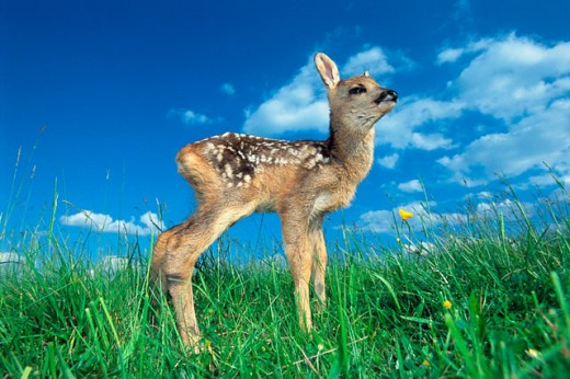 Stock Photo: 1566-0148815 Roe deer fawn (Capreolus capreolus). Bavaria. Germany