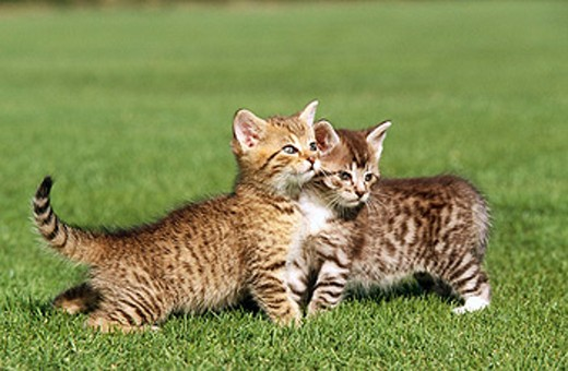 Stock Photo: 1566-0148974 Kittens