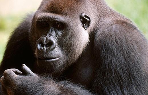Stock Photo: 1566-0148995 Lowland Gorilla (Gorilla gorilla gorilla)