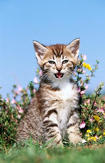 Stock Photo: 1566-0149238 Domestic cat