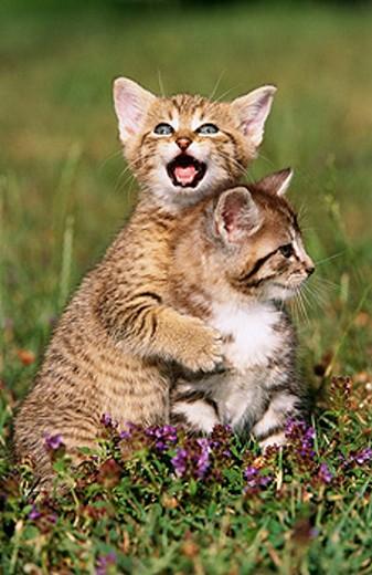 Domestic cats : Stock Photo