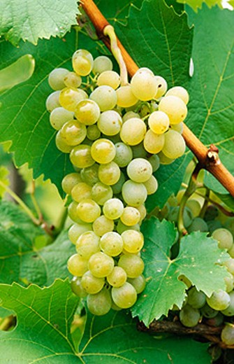 Wine grapes : Stock Photo
