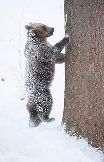 Stock Photo: 1566-0149500 Brown bear (Ursus arctos). Bayerischer Wald National Park. Germany.