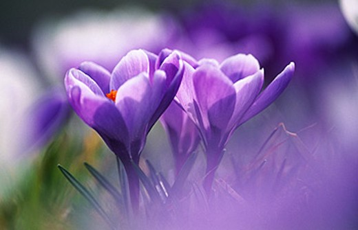 Crocus (Crocus sp.) : Stock Photo