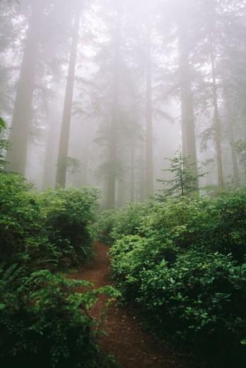 Lady Bird Johnson Grove. Redwood National Park. California. USA : Stock Photo