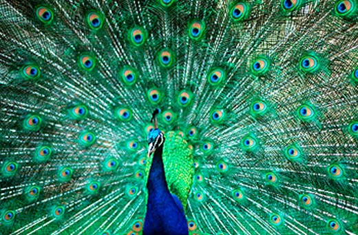 Front view peacock (Pavo cristatus) with tail spread : Stock Photo