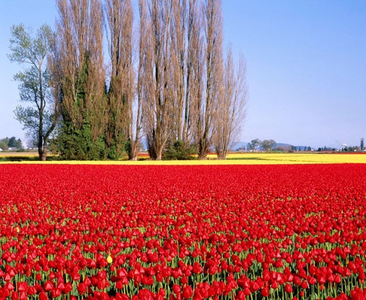 Stock Photo: 1566-0150890 Tulip field and lombardy poplar trees (Populus Nigra ´Italica´). Spring. Skagit Valley. Skagit County. Washington. USA