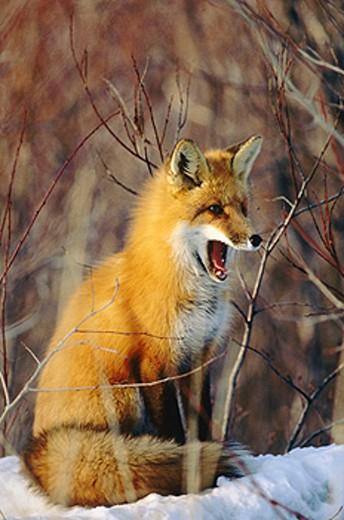 Red Fox (Vulpes vulpes). Ontario. Canada : Stock Photo