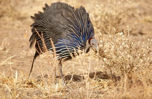 Stock Photo: 1566-0152217 Vulturine Guineafowl (Acryllium vulturinum). Samburu National Reserve. Kenya