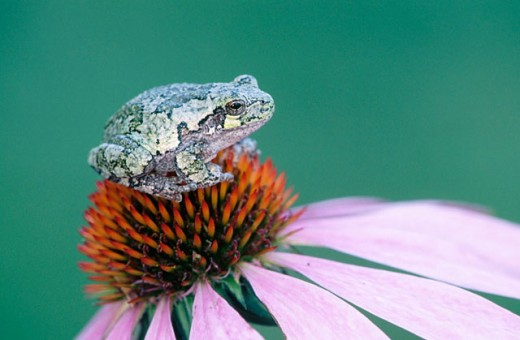 Stock Photo: 1566-0152249 Gray treefrog (Hyla versicolor) resting on purple cone flower. Ontario. Canada