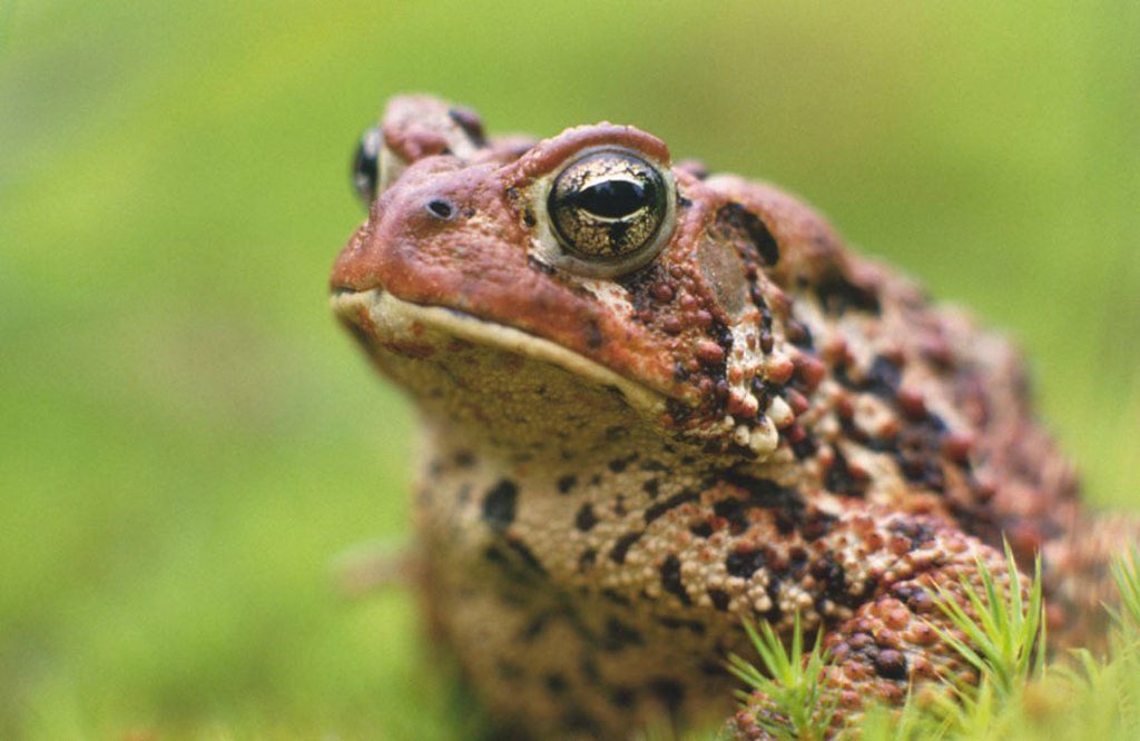 Stock Photo: 1566-0152251 American toad (Bufo americanus). Natural pest control. Ontario. Canada
