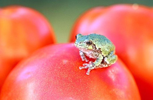 Gray treefrog (Hyla versicolor) resting on red tomato. Ontario. Canada : Stock Photo