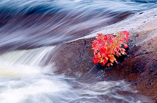 Stock Photo: 1566-0152386 Maple seedling in crack of rock at edge of Onaping river. Levack. Ontario. Canada