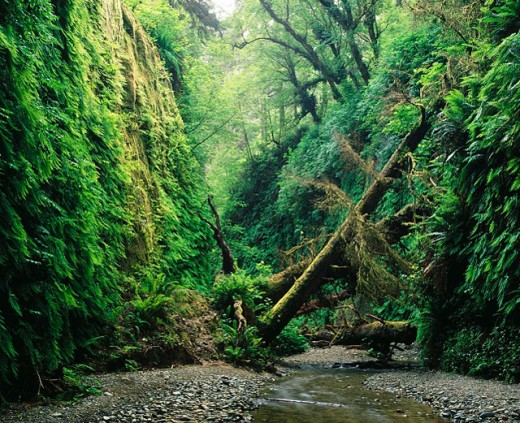 Fern Canyon. Prairie Creek Redwoods State Park. California. USA : Stock Photo